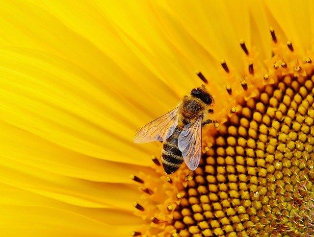 pollen méh