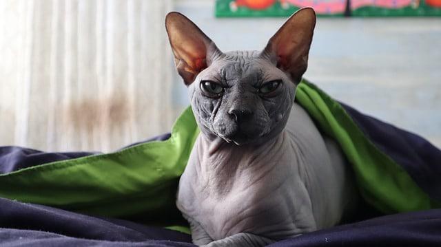 szőrtelen macska