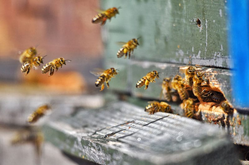 A méhcsípés allergia ellenszert kíván
